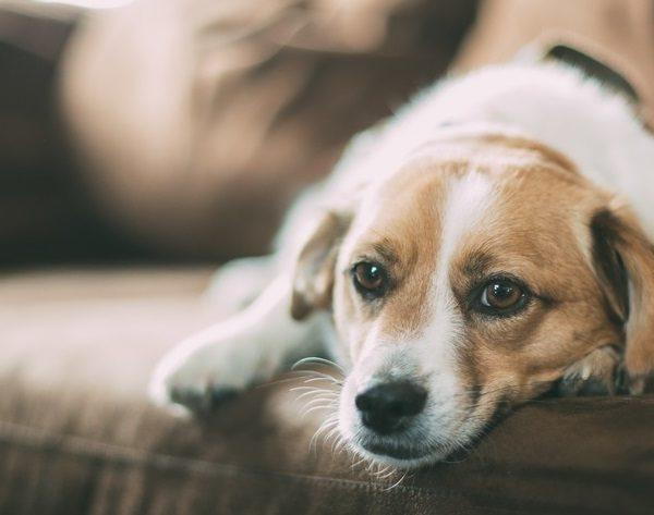 Deutsche Tierrettung ev Blutspende bei Tieren